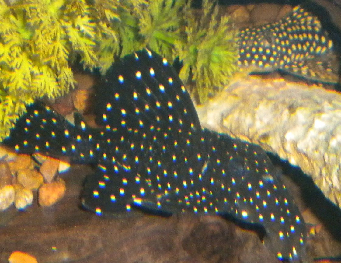freshwater fish - leporacanthicus galaxias - galaxy pleco (l240) stocking in 180 gallons tank - Vampire pleco with a goldie(L-14)