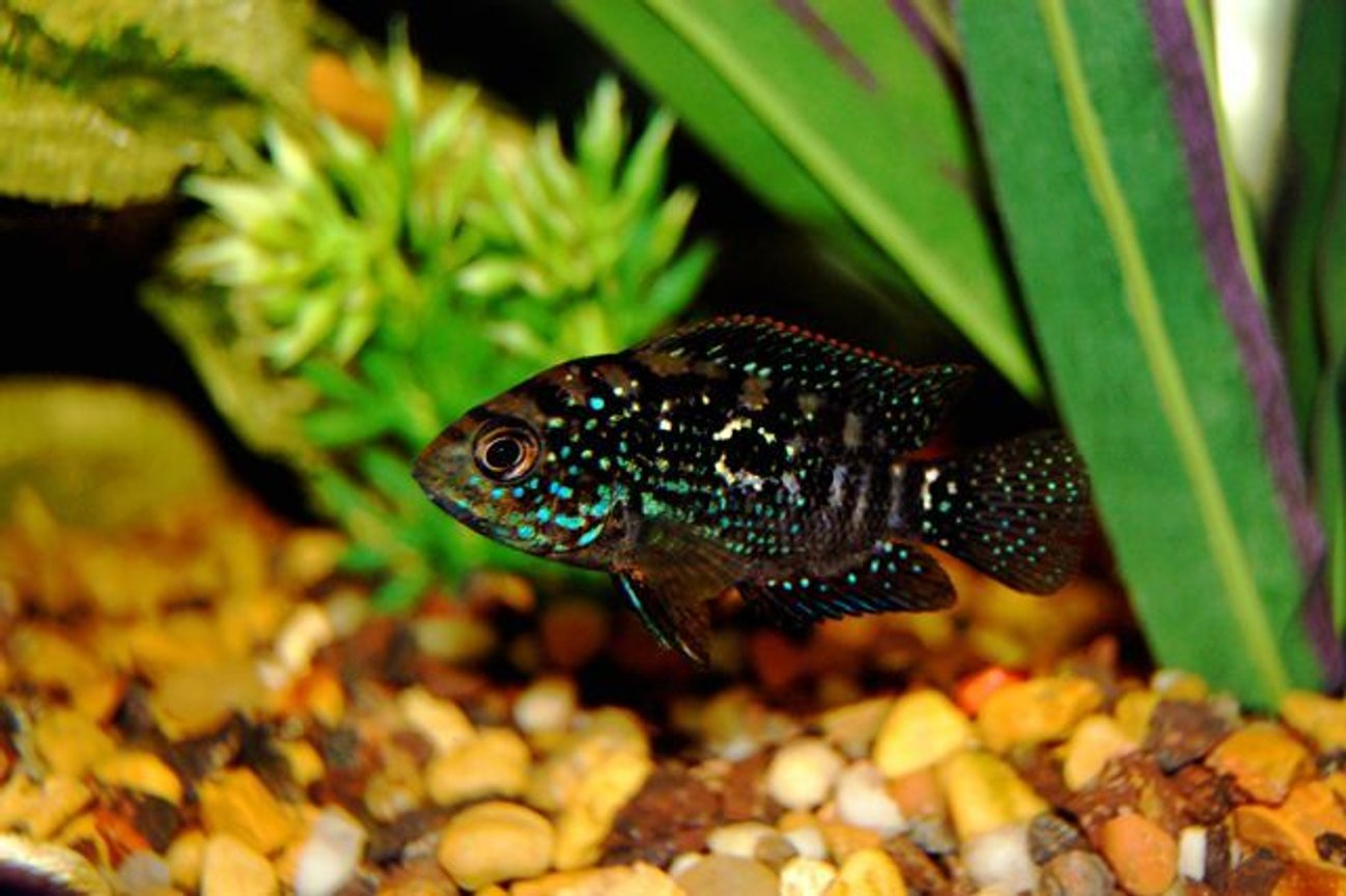 freshwater fish - nandopsis octofasciatum - jack dempsey stocking in 55 gallons tank - One of the new jack dempseys