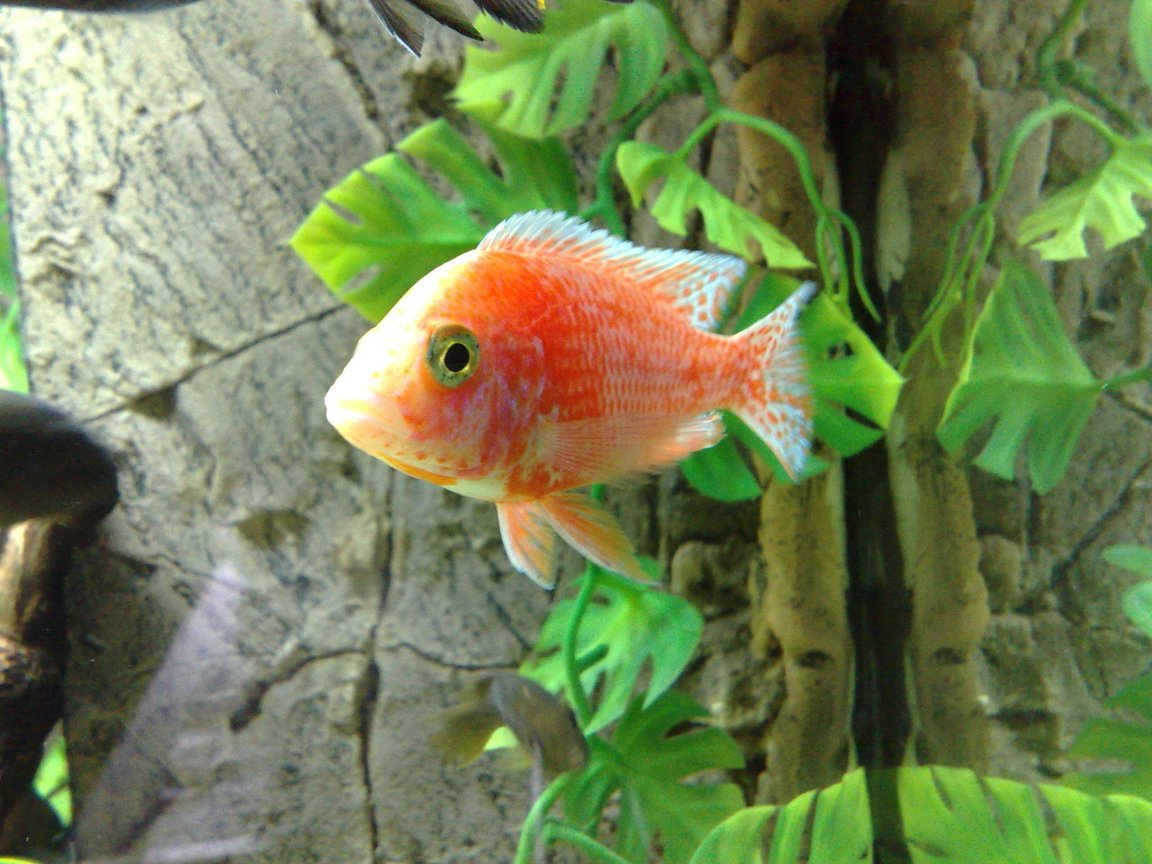 freshwater fish - aulonocara sp. - fire fish stocking in 105 gallons tank - aulonocara fire fish