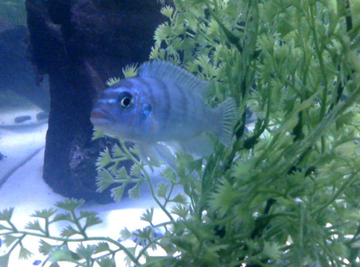 freshwater fish - metriaclima callainos - cobalt blue zebra cichlid stocking in 55 gallons tank - My Fishy
