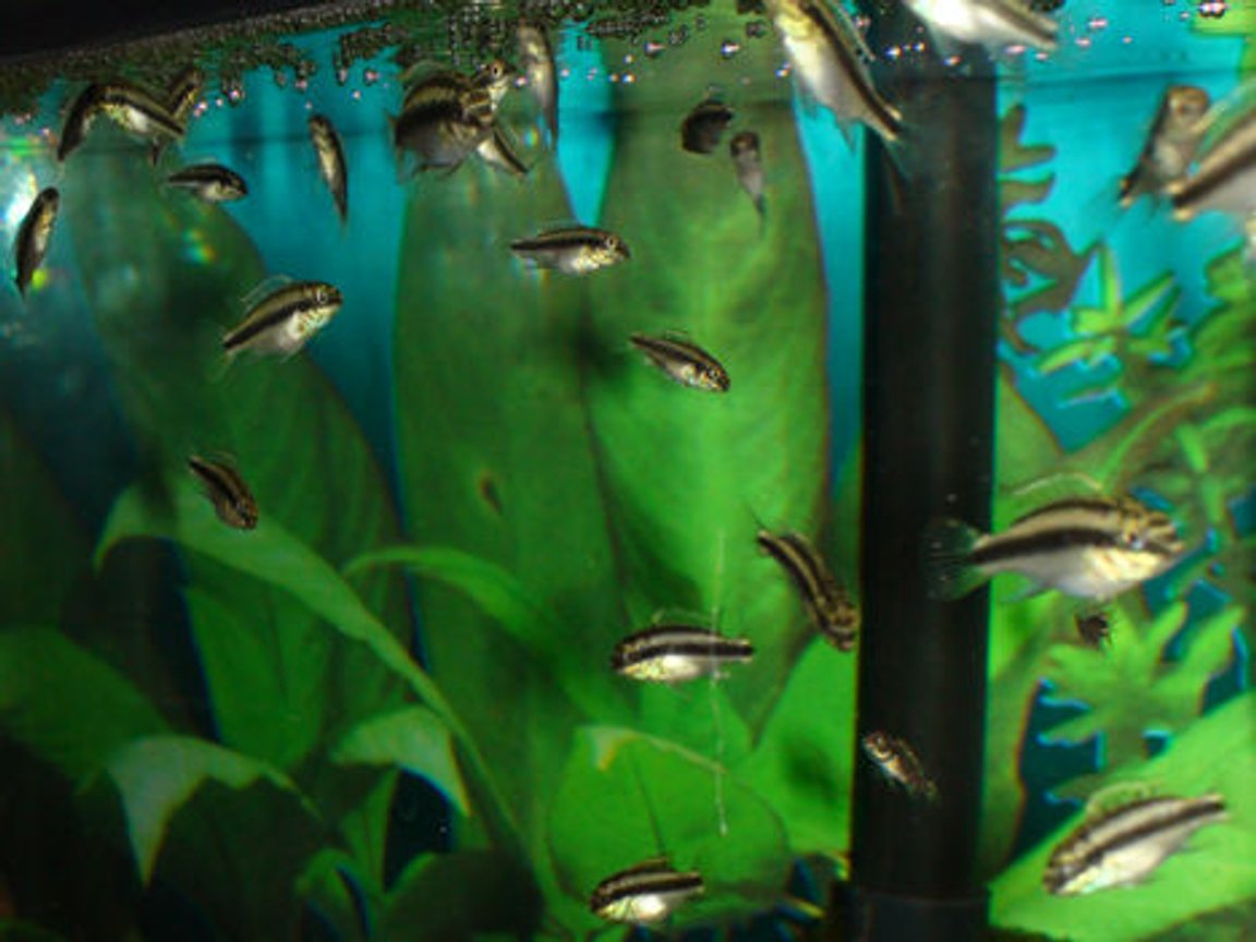freshwater fish - pelvicachromis pulcher - kribensis cichlid stocking in 55 gallons tank - 18 gal tall with about 30 baby kribs