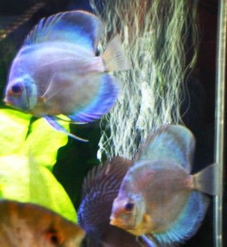 freshwater fish - symphysodon spp. - neon blue discus stocking in 125 gallons tank - new cobalt discus