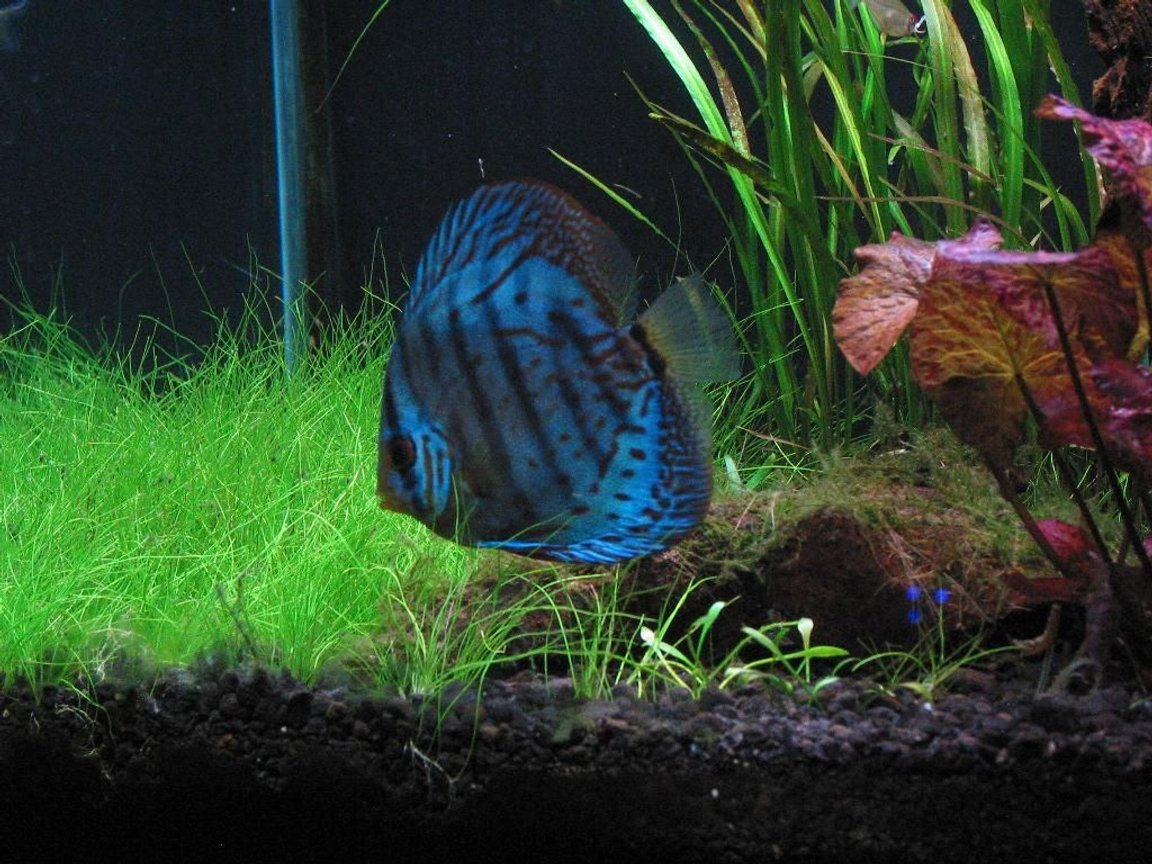 freshwater fish - symphysodon sp. - cobalt blue discus stocking in 75 gallons tank - My blue cobalt discus Patches