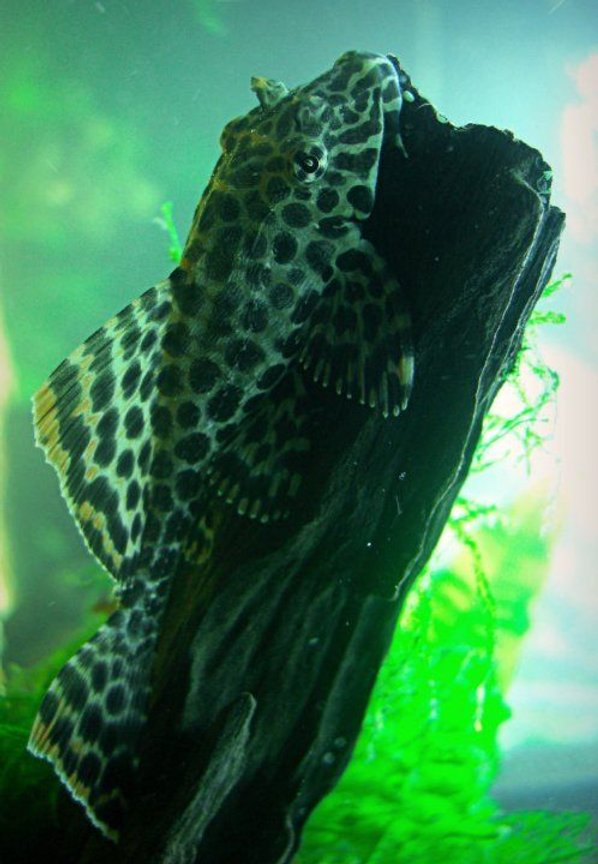 freshwater fish - glyptoperichthys gibbiceps - sailfin pleco (l-83) stocking in 1200 gallons tank - Gibbicep Pleco!