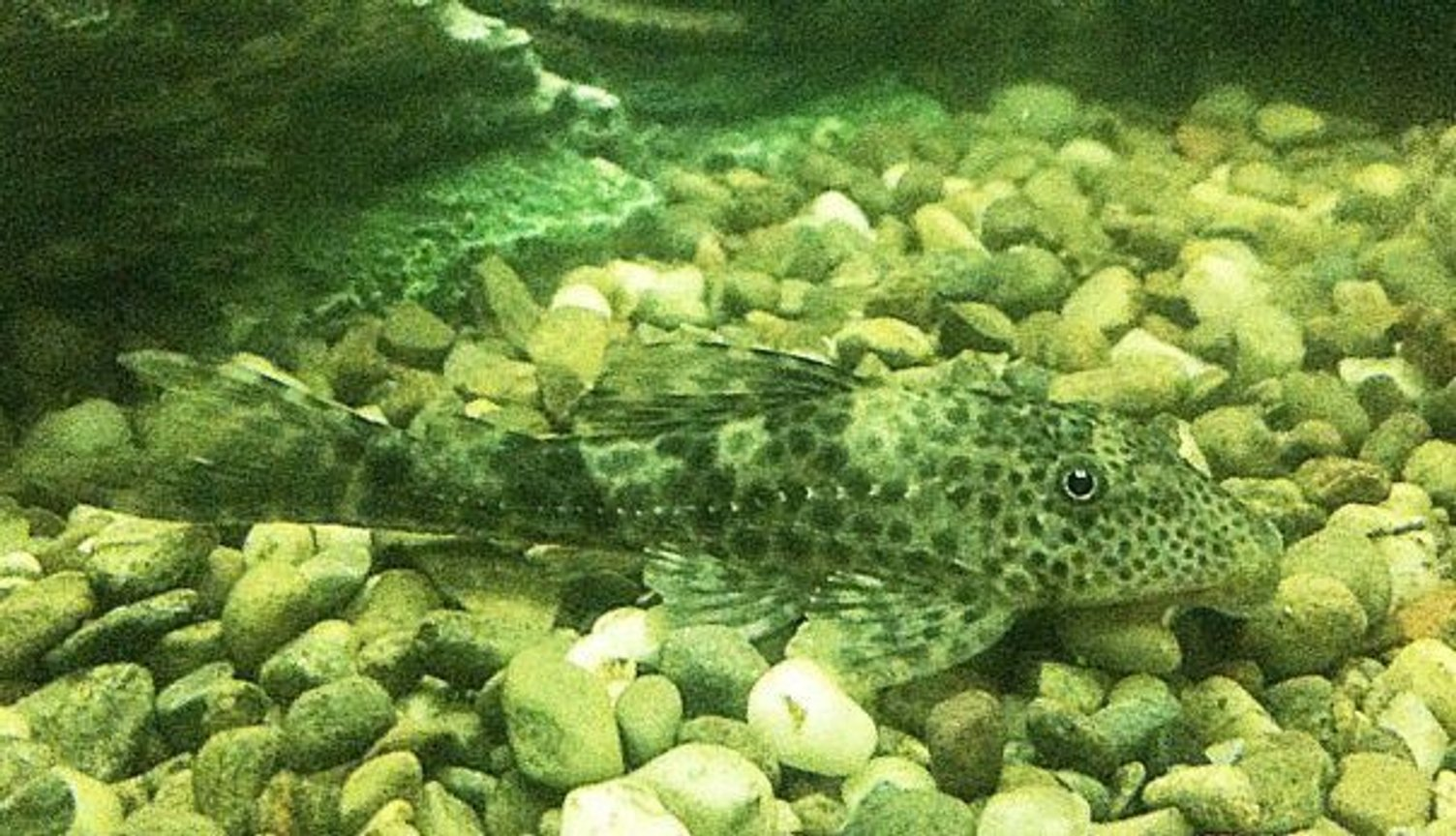 freshwater fish - glyptoperichthys gibbiceps - sailfin pleco (l-83) stocking in 1200 gallons tank - Baby spotted sailfin pleco