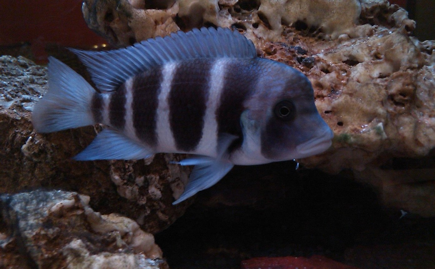 freshwater fish - cyphotilapia frontosa - frontosa cichlid stocking in 185 gallons tank - My Male Frantosa