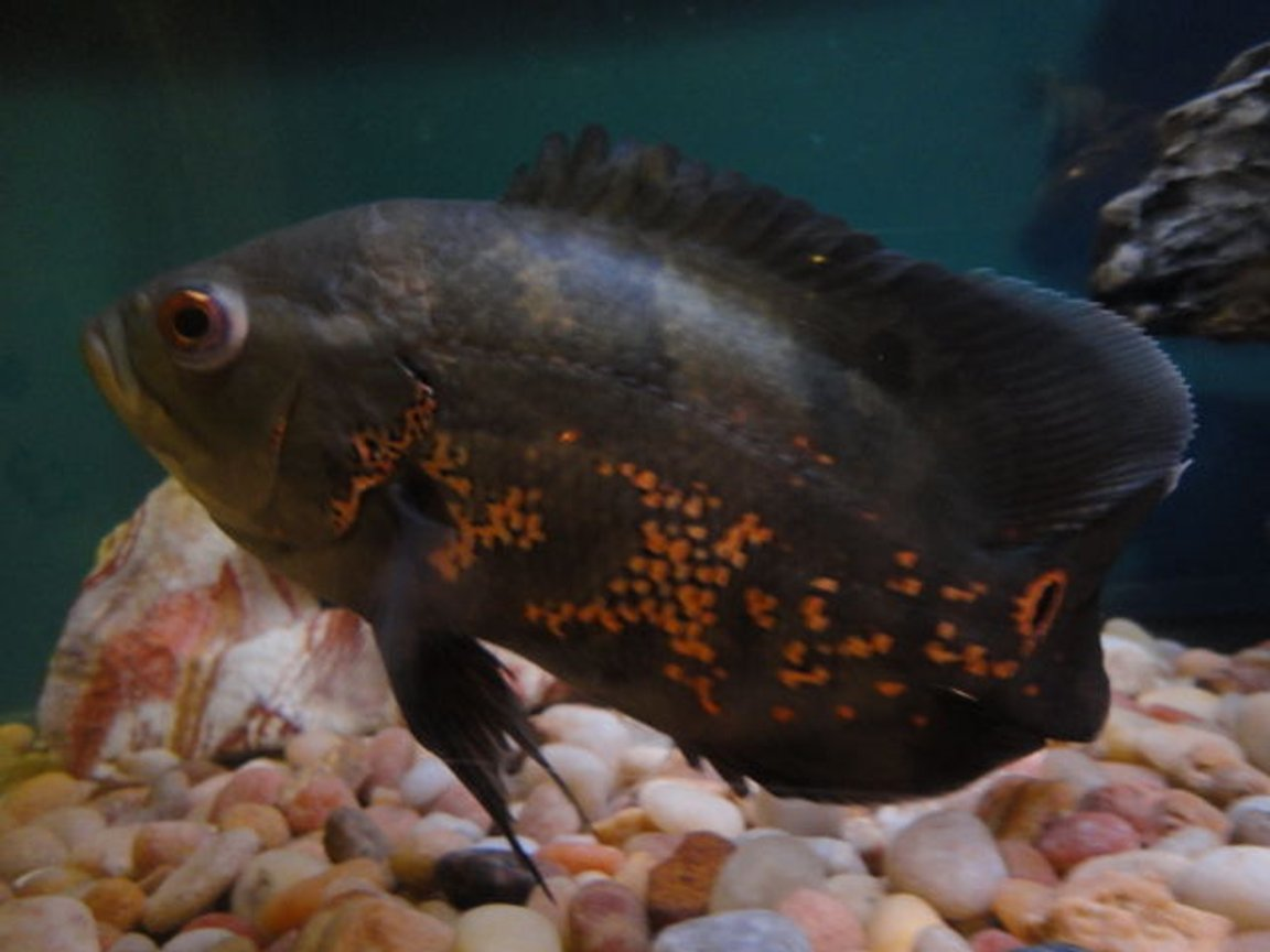 freshwater fish - astronotus ocellatus - tiger oscar stocking in 60 gallons tank - Tiger Oscar