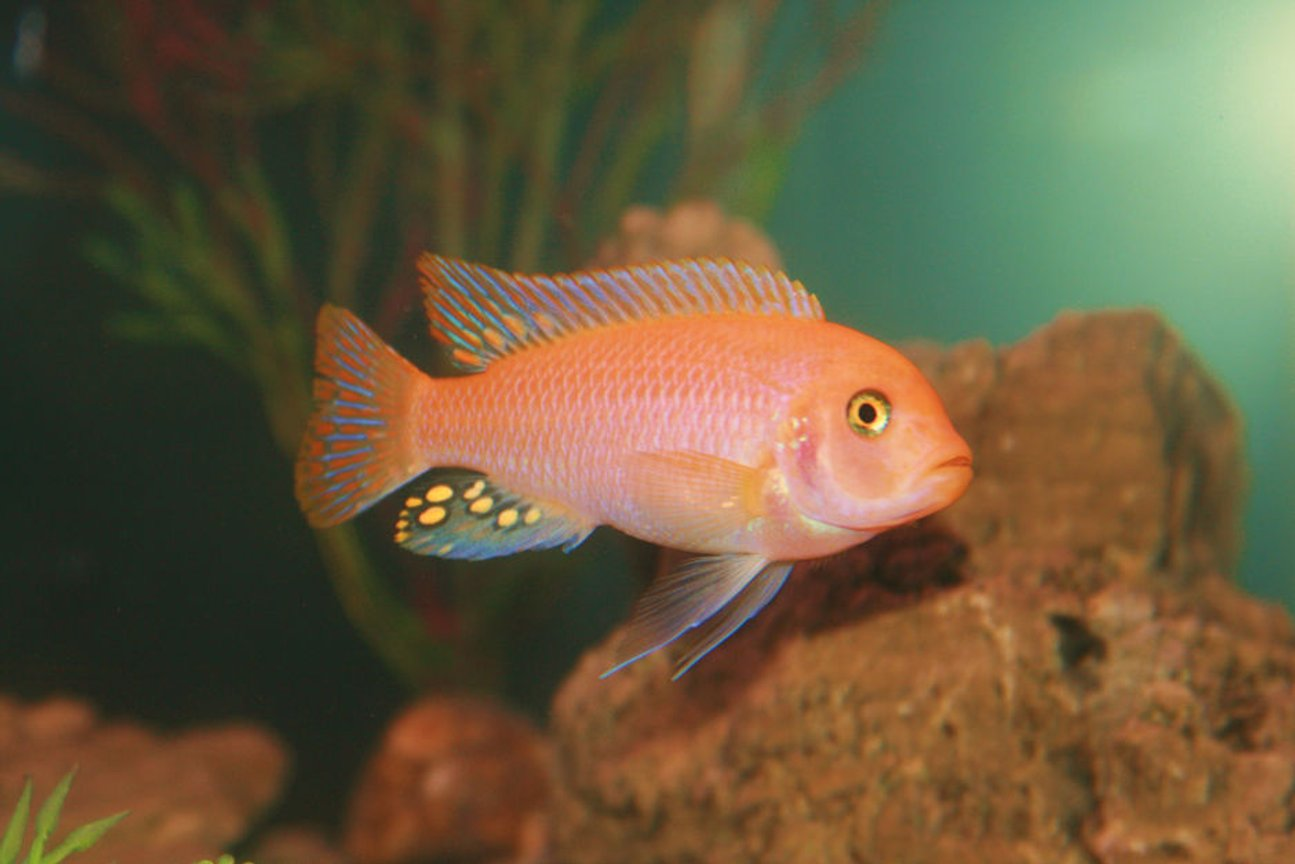 freshwater fish - pseudotropheus estherae - red zebra cichlid stocking in 55 gallons tank - Red Zebra