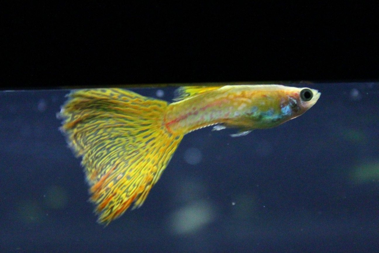 freshwater fish - poecilia reticulata - lemon cobra guppy stocking in 29 gallons tank - guppy