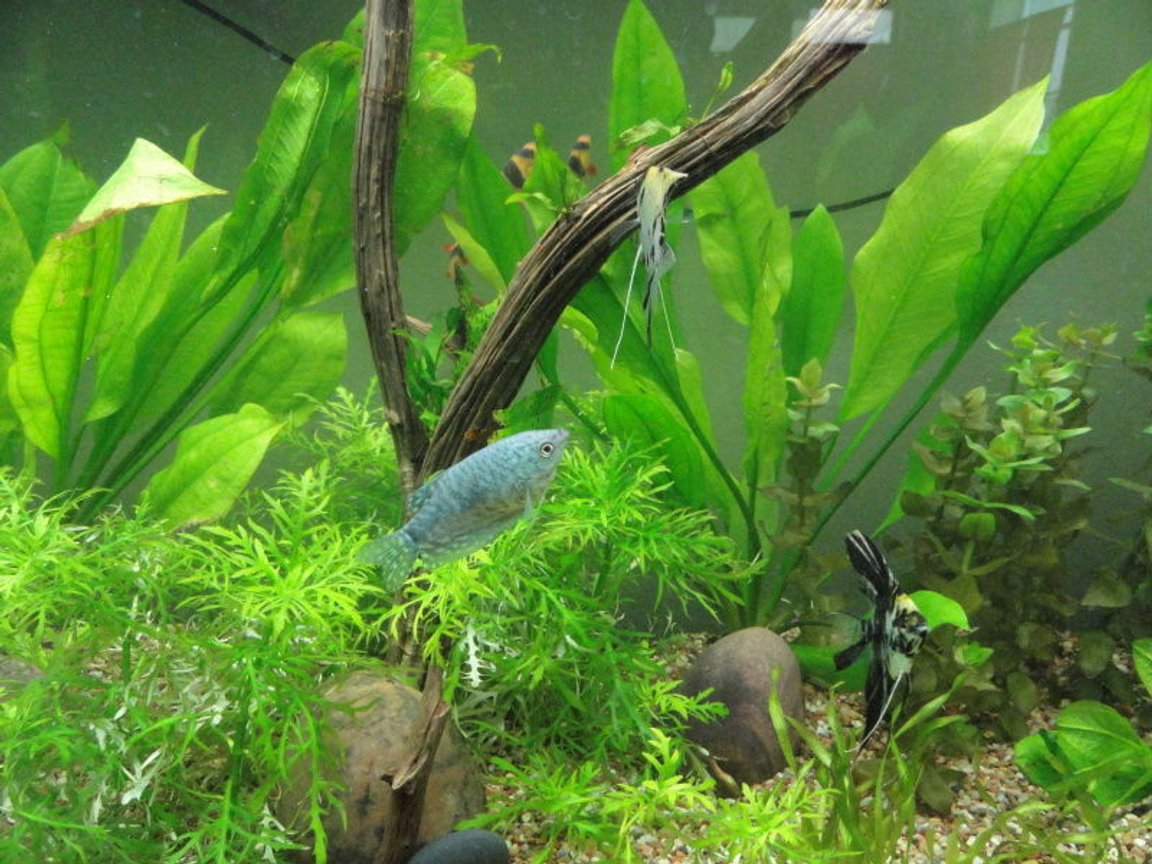 freshwater fish - trichogaster trichopterus - blue gourami stocking in 55 gallons tank - opaline gourami three spot angelfish