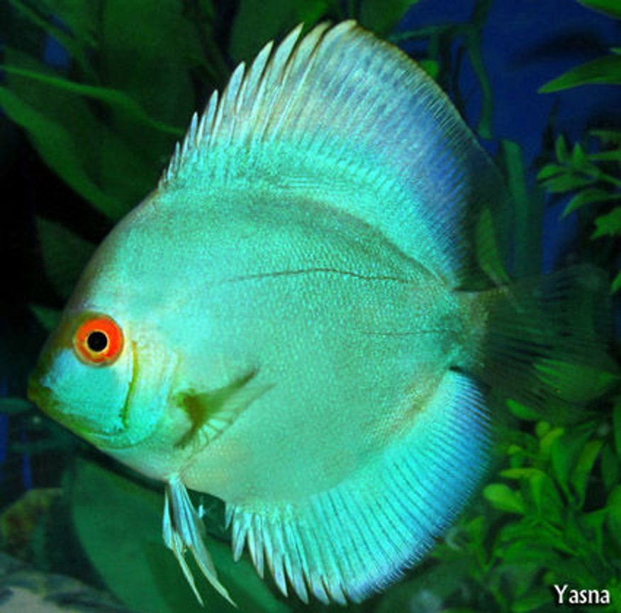 freshwater fish - symphysodon spp. - neon blue discus stocking in 60 gallons tank - my blue cobalt discus