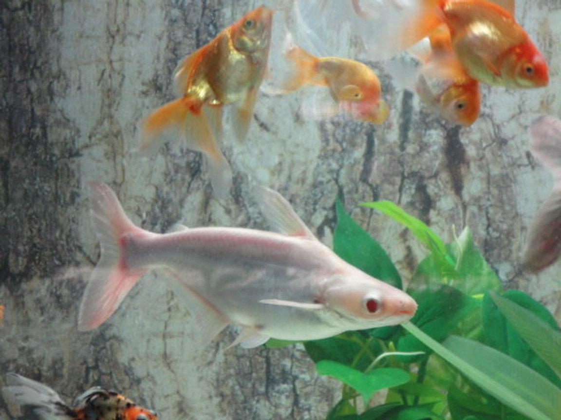 freshwater fish - carrassius auratus - fantail goldfish stocking in 68 gallons tank - gold community with non aggressive sharks,pelco,snail&turtle