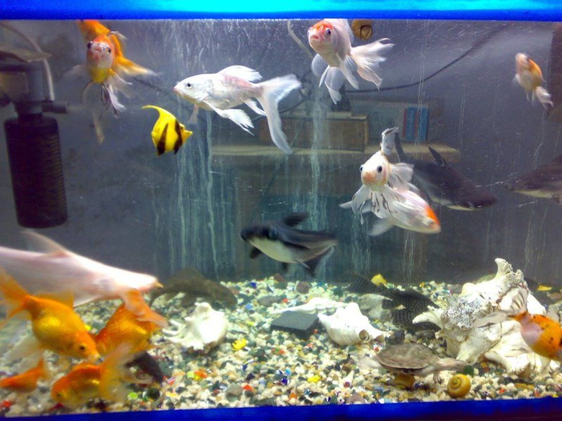 freshwater fish - carassius auratus - ryukin goldfish stocking in 68 gallons tank - older setup wen i was havin 35 gallon tank about 3.5 years back
