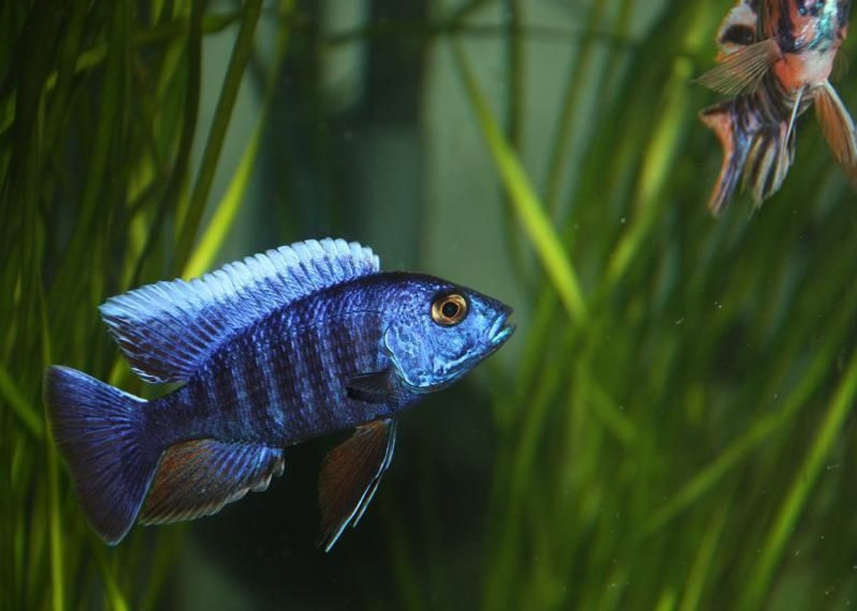 freshwater fish - aulonocara hansbaenschi - red peacock cichlid stocking in 67 gallons tank - A Blue Peacock that I own