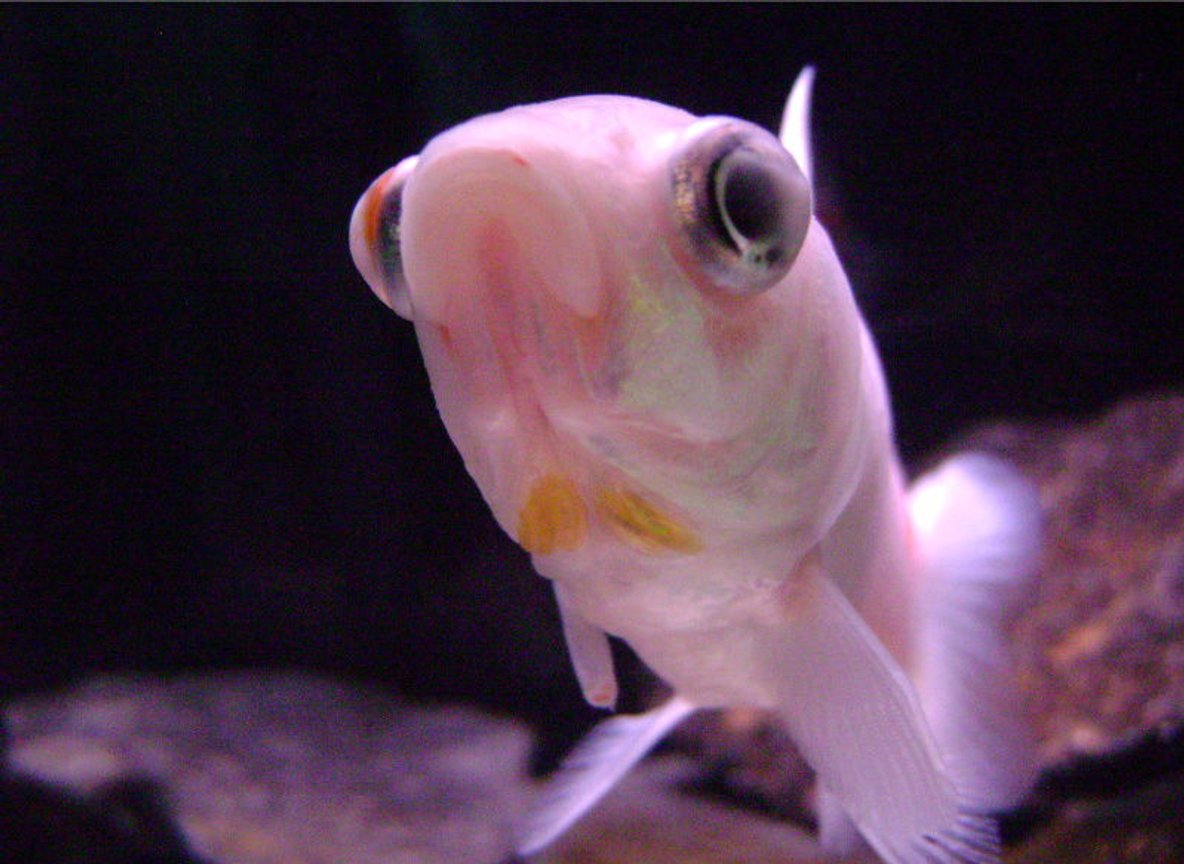 freshwater fish - carassius auratus - comet goldfish stocking in 10 gallons tank - Comet Goldfish