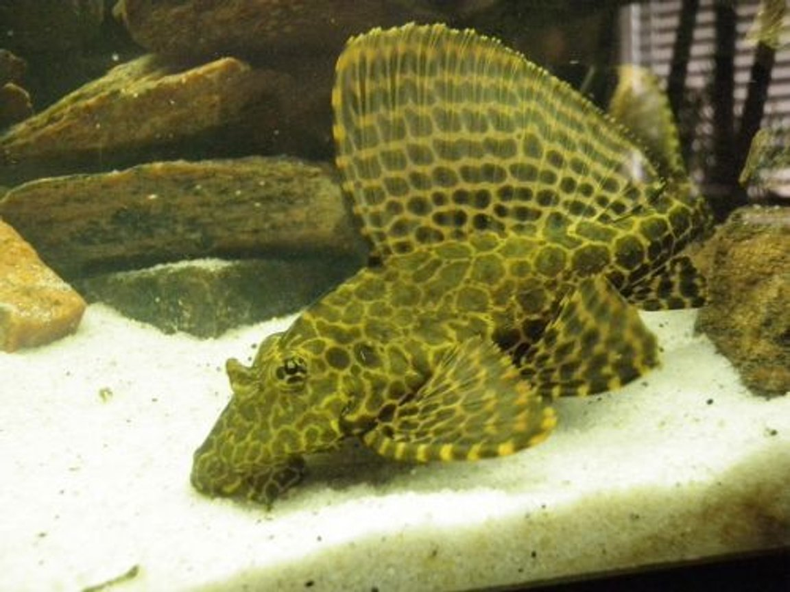 freshwater fish - glyptoperichthys gibbiceps - sailfin pleco (l-83) stocking in 46 gallons tank - My pleco - growing like crazy!! Please leave comments about my Pleco