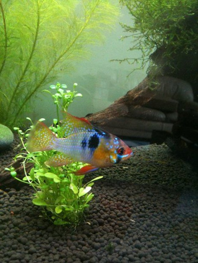 freshwater fish - papiliochromis ramirezi - german blue ram stocking in 40 gallons tank - My Ram!