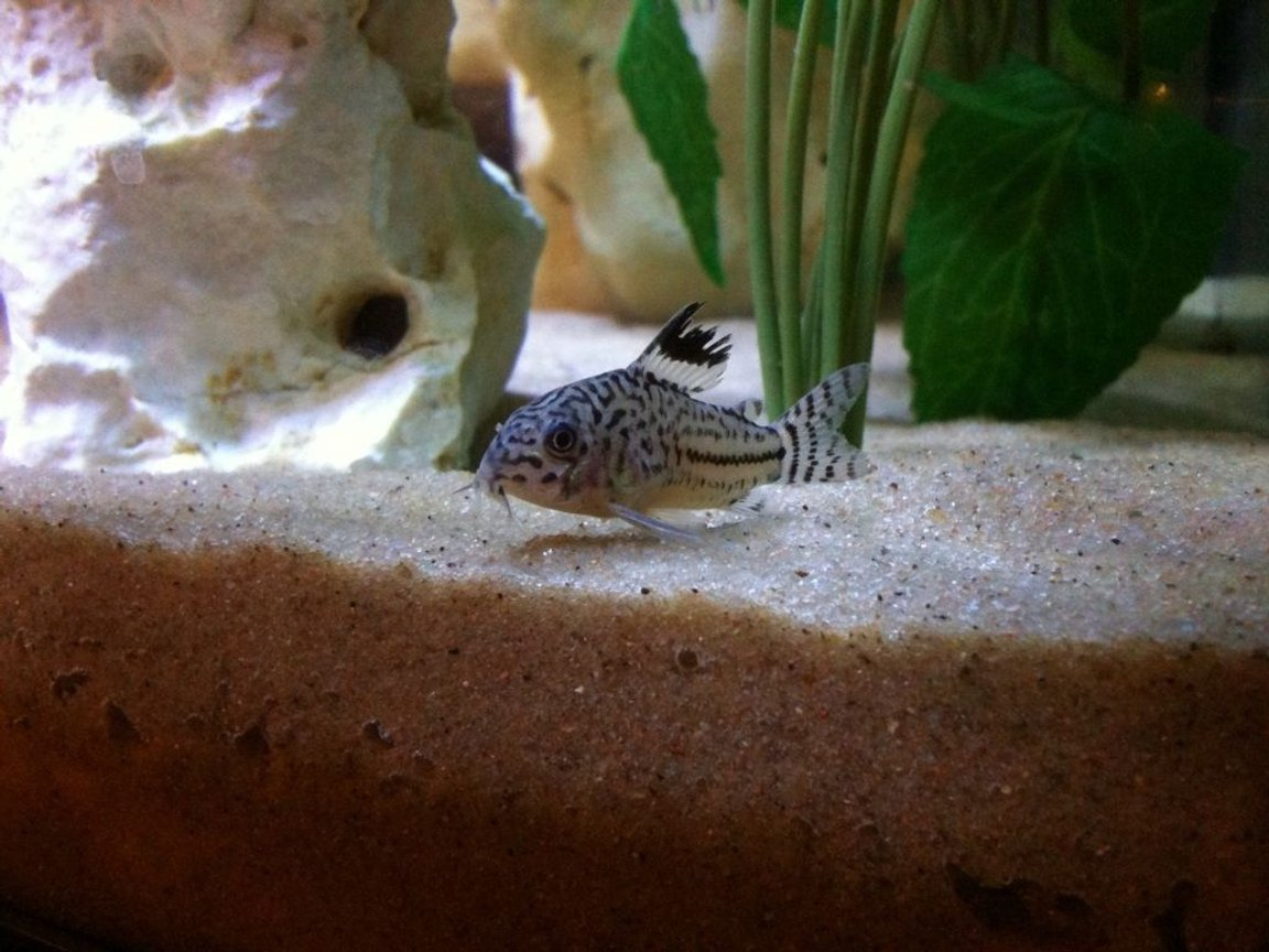 freshwater fish - corydoras sp. - false julii cory cat stocking in 40 gallons tank - cory cat
