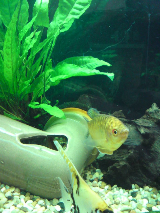 freshwater fish - trichogaster trichopterus - gold gourami stocking in 28 gallons tank - sarahs tank