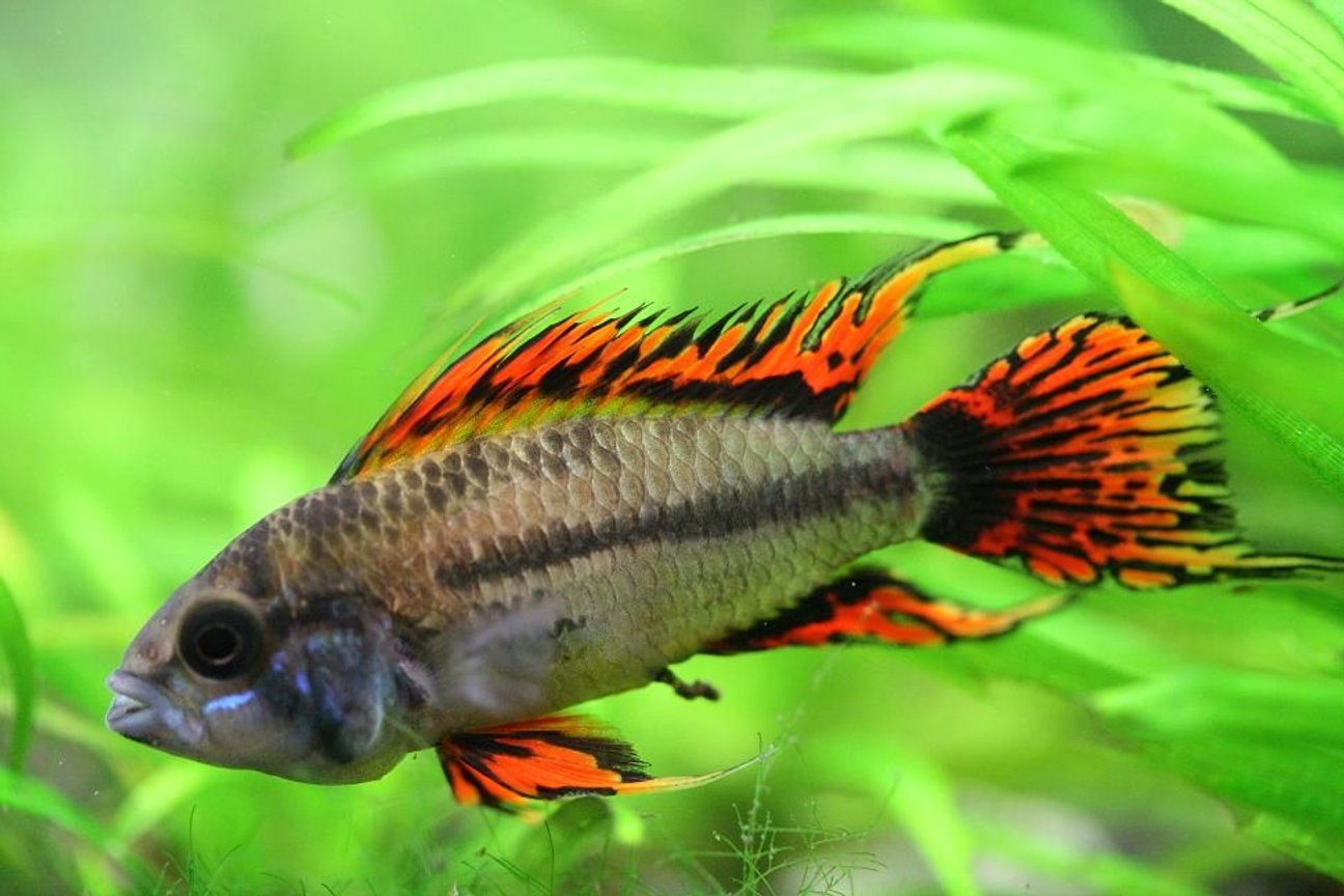 freshwater fish - apistogramma cacatuoides - double full red cockatoo cichlid stocking in 40 gallons tank - Apistogramma Cacatuoides Double Red