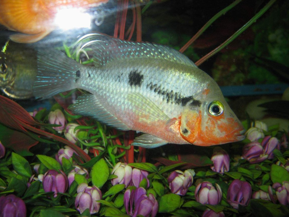 freshwater fish - thorichthys meeki - firemouth cichlid stocking in 90 gallons tank - fire mouth