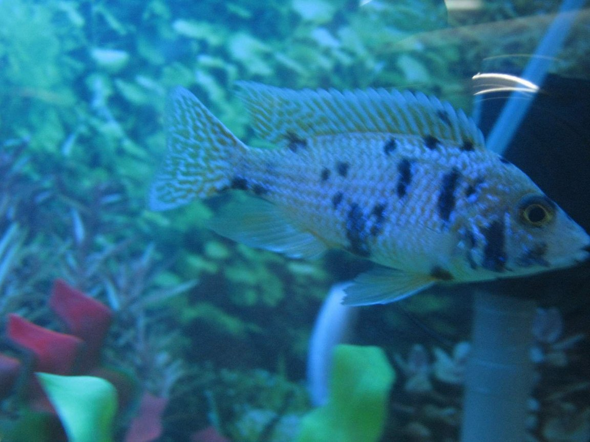 freshwater fish - labeotropheus fuelleborni - fuelleborni cichlid, orange blossom stocking in 90 gallons tank - cichlids3