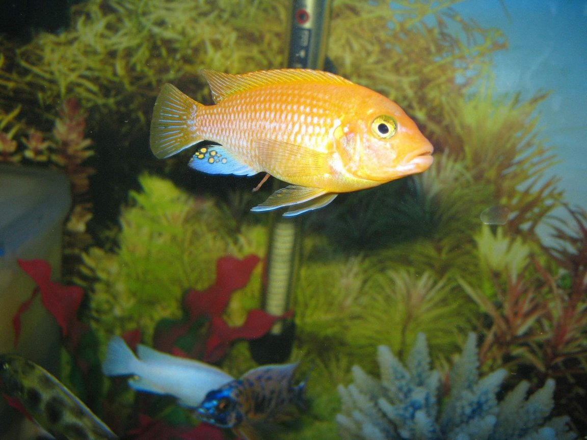 freshwater fish - pseudotropheus estherae - red zebra cichlid stocking in 90 gallons tank - cichlids4