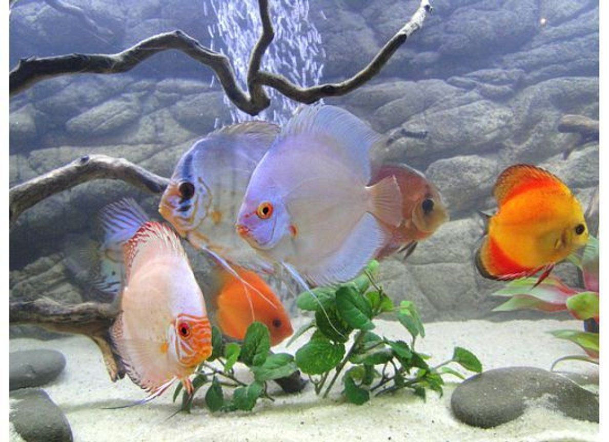 freshwater fish - symphysodon sp. - blue diamond discus stocking in 125 gallons tank - My Discus Cru Part Two