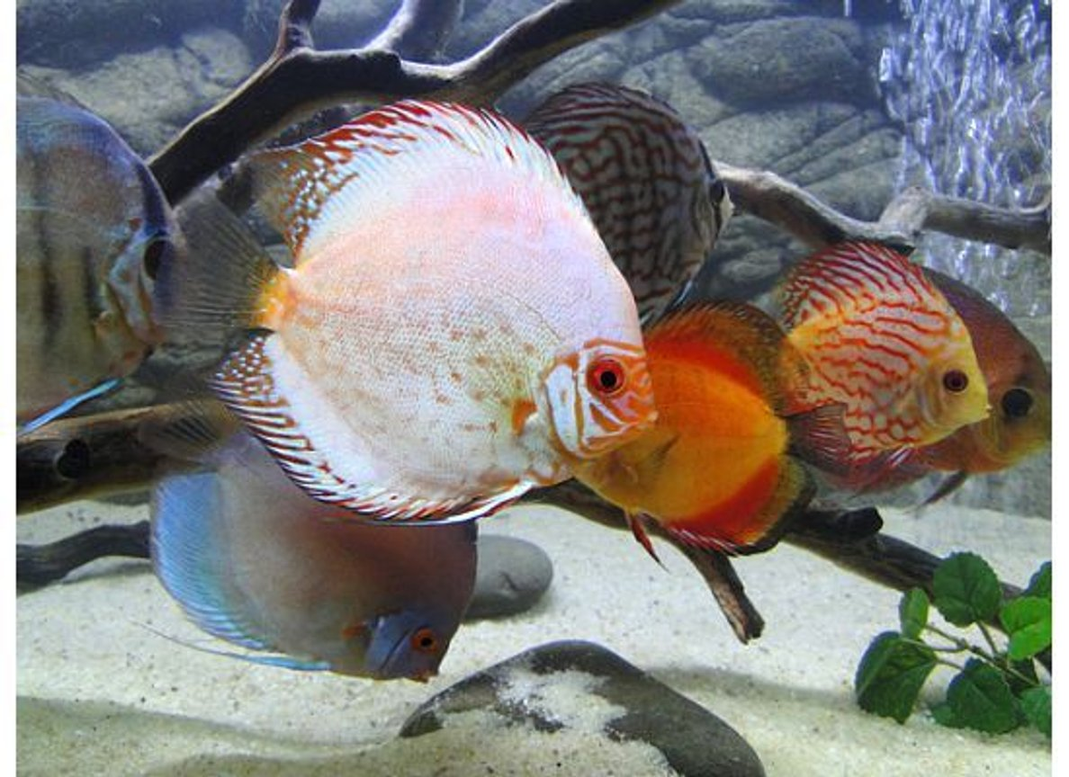 freshwater fish - symphysodon spp. - pigeon blood discus stocking in 125 gallons tank - Silver Pigeon Blood Discus