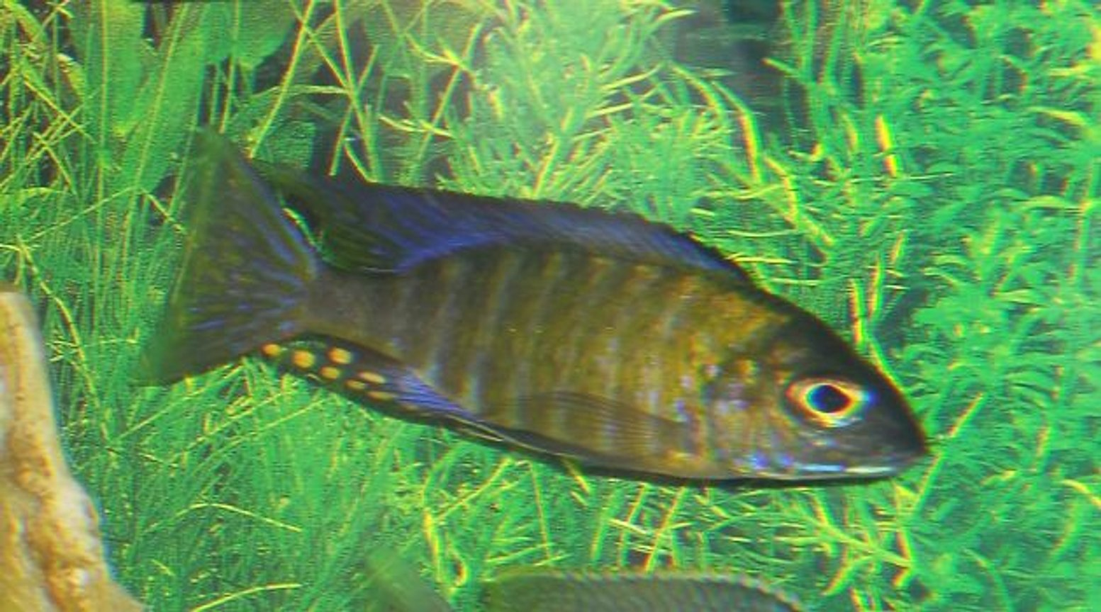 freshwater fish - aulonocara sp. - chitande stocking in 54 gallons tank