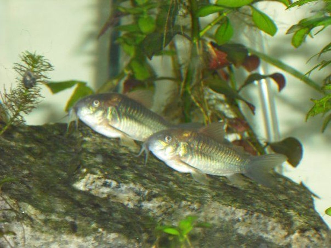 freshwater fish - brochis splendens - emerald green cory cat stocking in 55 gallons tank - Cory Cats