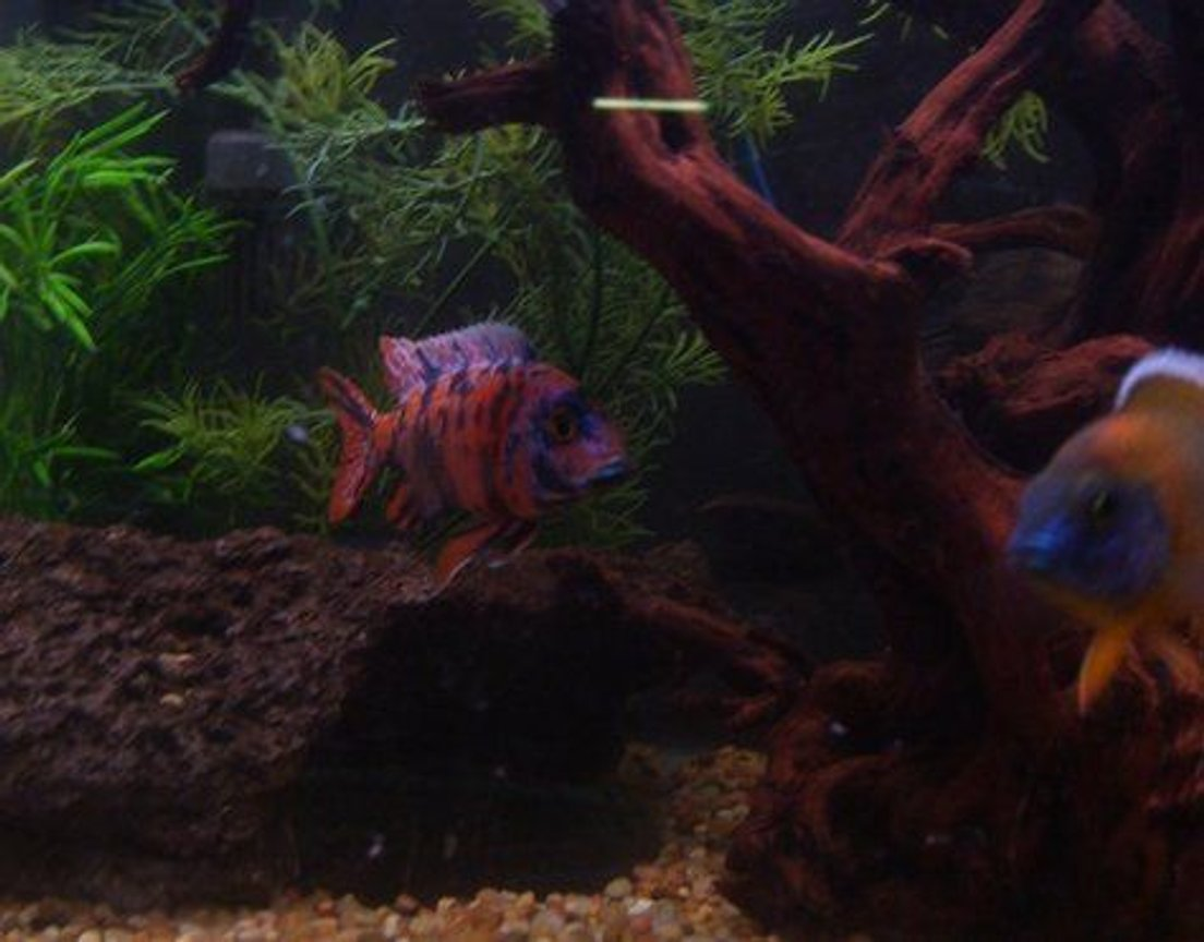 freshwater fish - aulonocara nyassae var. - peacock cichlid, orange blossom stocking in 120 gallons tank - My ob Peacock!