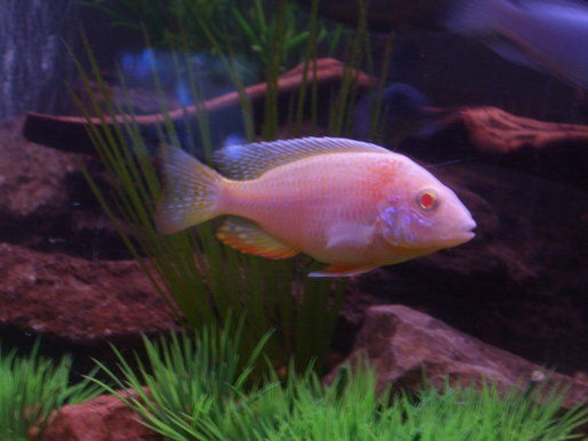 freshwater fish - aulonocara sp. - albino peacock cichlid stocking in 120 gallons tank - My Firefin Albino!