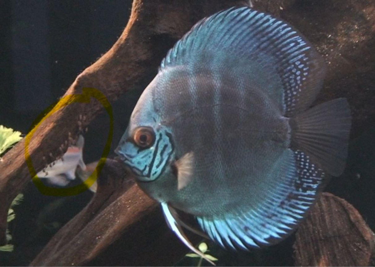freshwater fish - symphysodon sp. - blue diamond discus stocking in 209 gallons tank - Discus with eggs