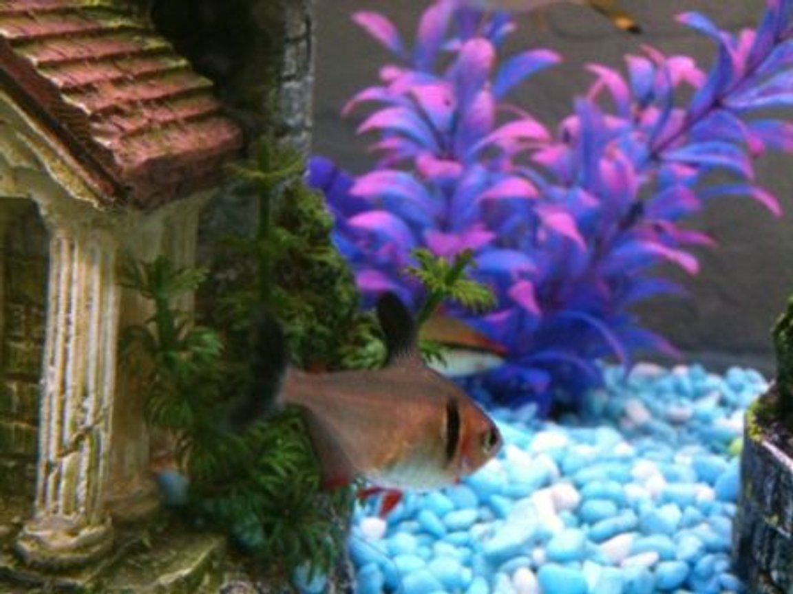 freshwater fish - hyphessobrycon callistus - red minor serpae tetra stocking in 36 gallons tank - Tetra.