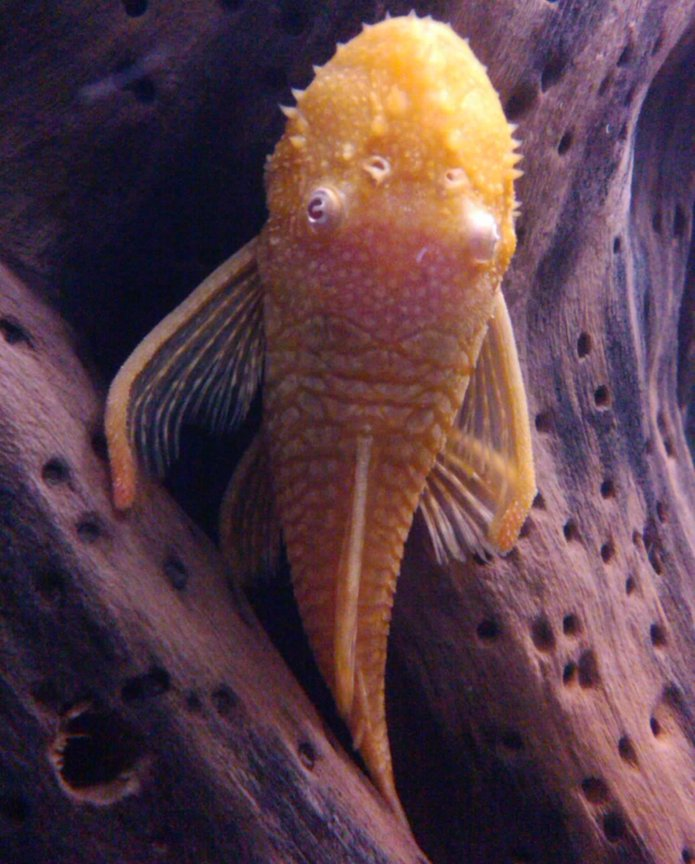 freshwater fish - ancistrus sp. - bushy nose pleco stocking in 65 gallons tank
