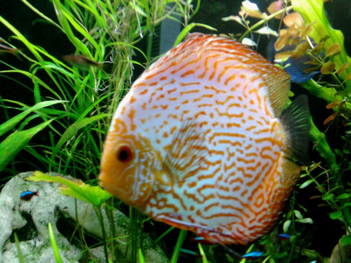 freshwater fish - symphysodon spp. - pigeon blood discus stocking in 135 gallons tank - Pigeon blood discus