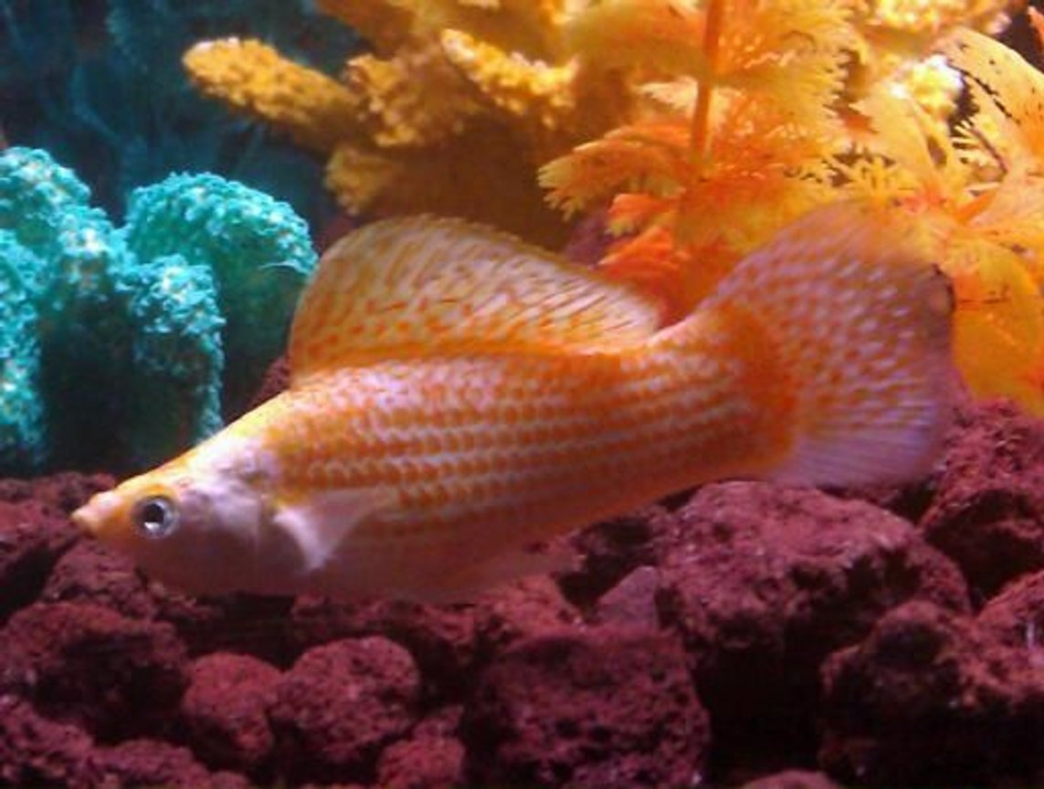 freshwater fish - poecilia latipinna - golden sailfin molly stocking in 110 gallons tank - Molly