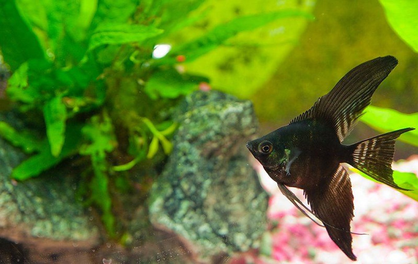 freshwater fish - pterophyllum sp. - black angel stocking in 33 gallons tank - Black angel