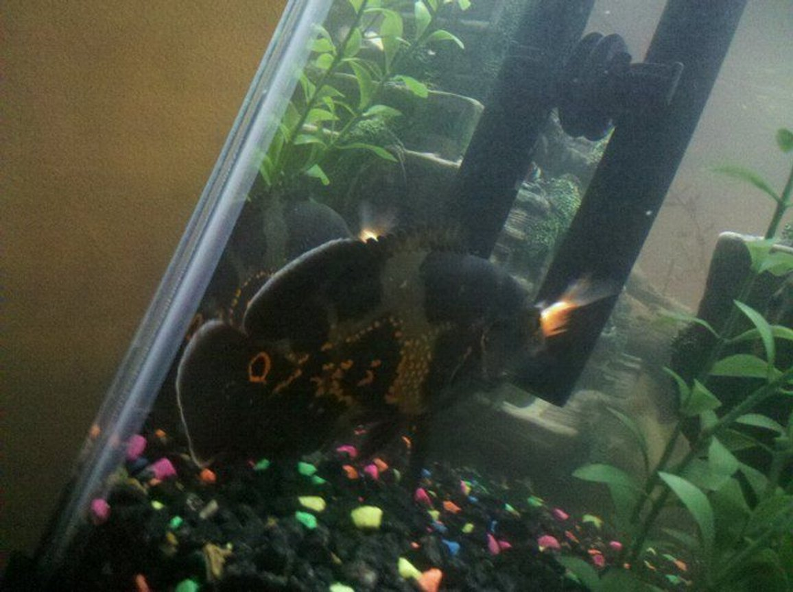 freshwater fish - astronotus ocellatus - tiger oscar stocking in 55 gallons tank - My Black oscar grubbing on a gold fish
