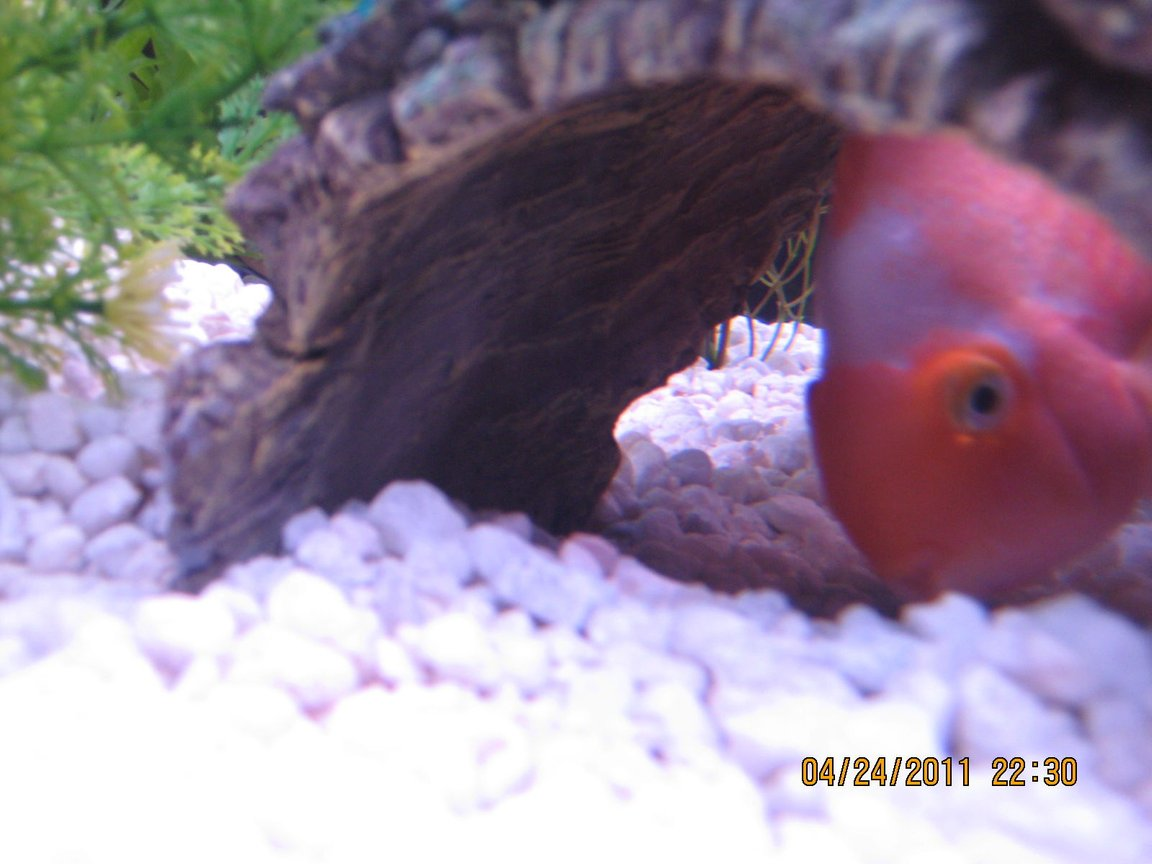 freshwater fish - heros severus x amphilophus citrinellum - blood parrot stocking in 125 gallons tank - Parrot