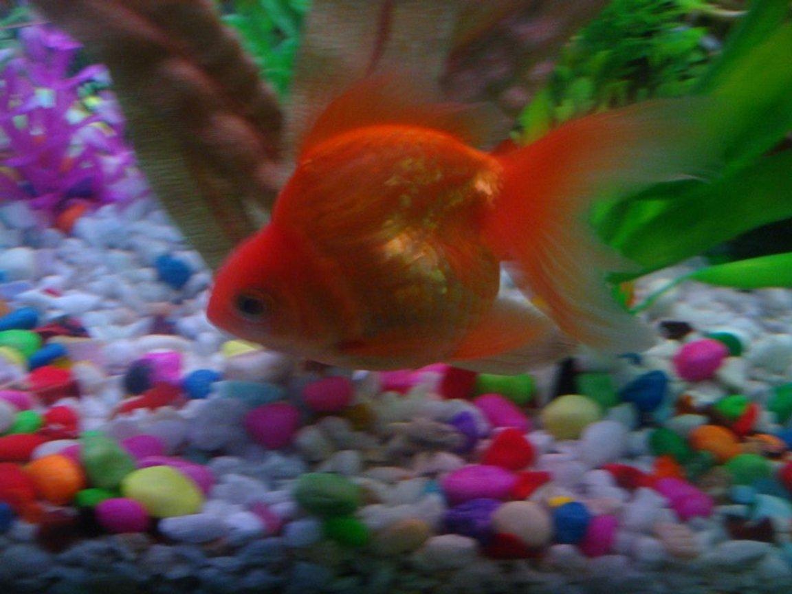 Photo 4 My Another Beautiful Ryukin Goldfish