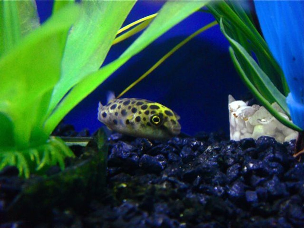 freshwater fish - tetraodon nigroviridis - green spotted puffer stocking in 55 gallons tank - Green Spotted Puffer Fish