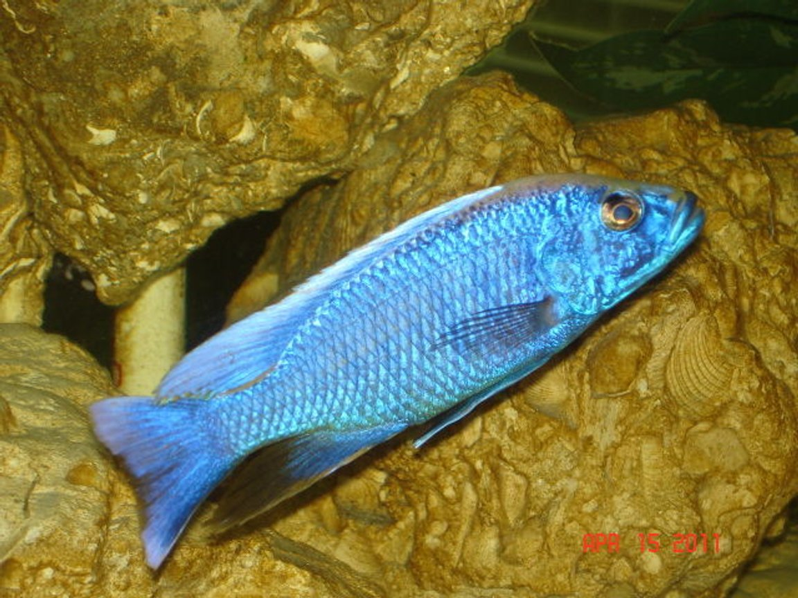 freshwater fish - sciaenochromis ahli - electric blue cichlid stocking in 350 gallons tank - Ahli