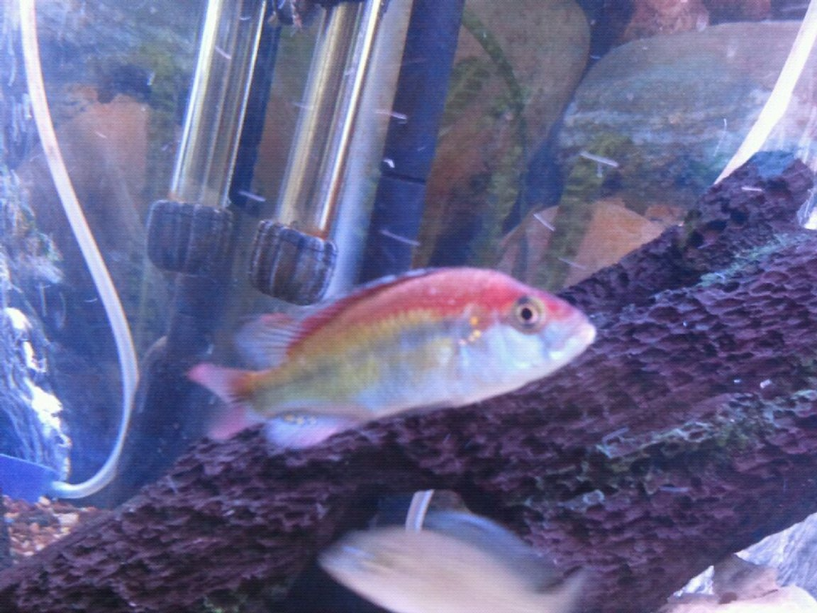 freshwater fish - pundamilia nyererei - nyererei hap stocking in 100 gallons tank - Lake Victorian flame back