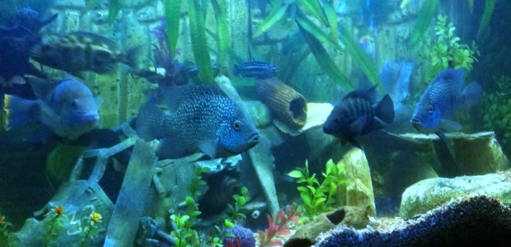 freshwater fish - herichthys carpinte - green texas cichlid stocking in 400 gallons tank - Texan Cichlids and a few others