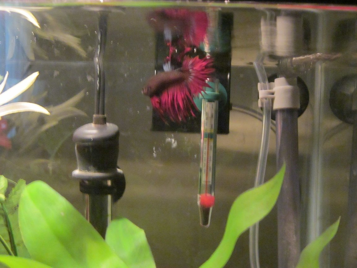 freshwater fish - betta splendens - crown tail betta stocking in 46 gallons tank - My Son Jeffrey
