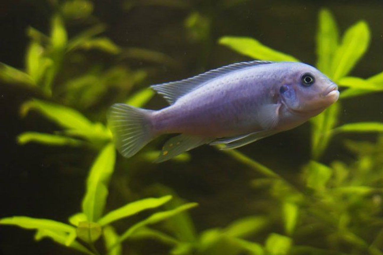 freshwater fish - maylandia callainos - blue cobalt cichlid stocking in 75 gallons tank - One of my three cobalt blue cichlids. This species hails from Lake Malawi.