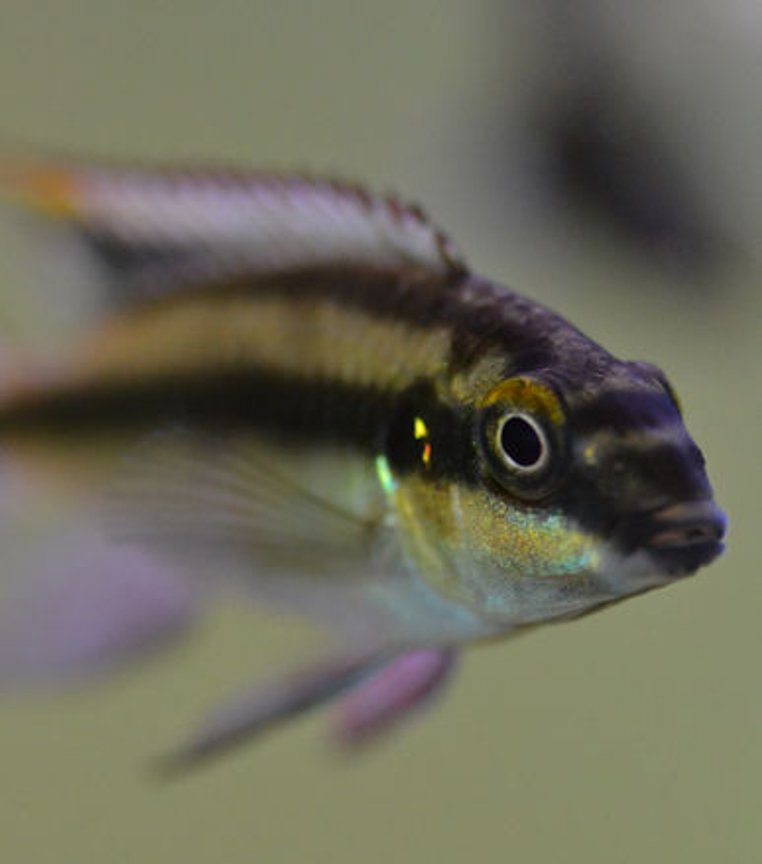 freshwater fish - pelvicachromis pulcher - kribensis cichlid stocking in 200 gallons tank - Male Kribensis up close
