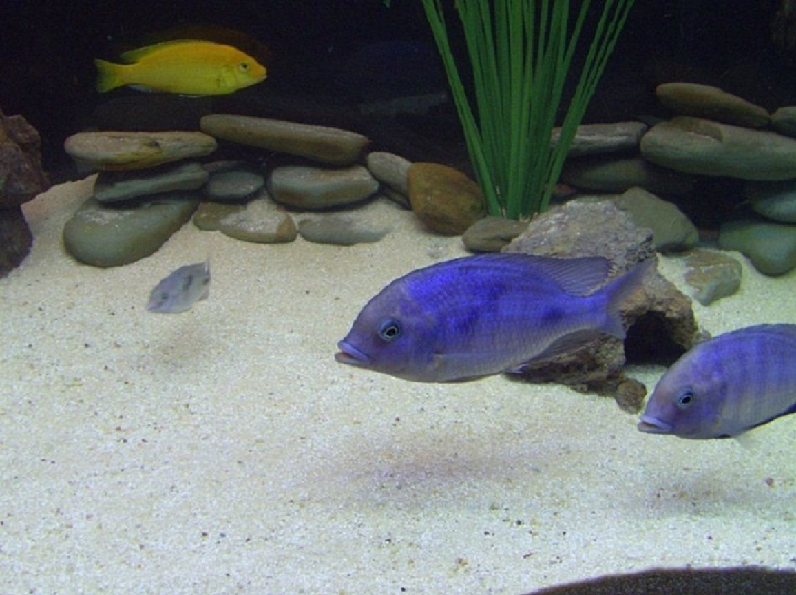 freshwater fish - cyrtocara moorii - blue dolphin cichlid stocking in 90 gallons tank - Two of my young adult Blue Dolphin African Cichlids along with a baby Blue Dolphin African Cichlid. In the background there's an Electric Yellow African Cichlid.